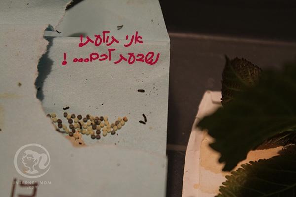 3243-silk-worms-זחלי-משי