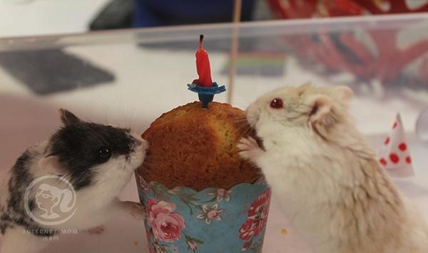 3842-hamster-birthday-אוגרים-יום-הולדת