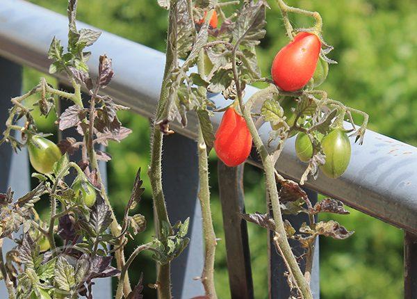 חדשות עגבניות